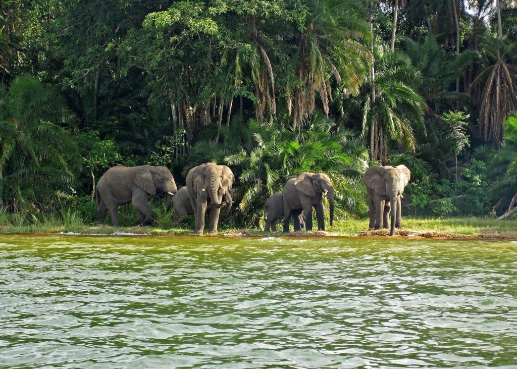 489962 elephants on rubondo island lake victoria