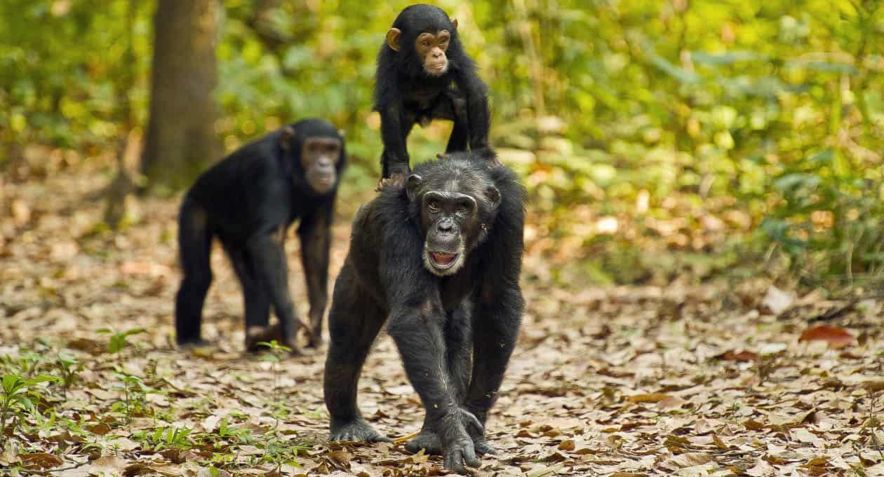 Gombe stream chimpanzee trekking