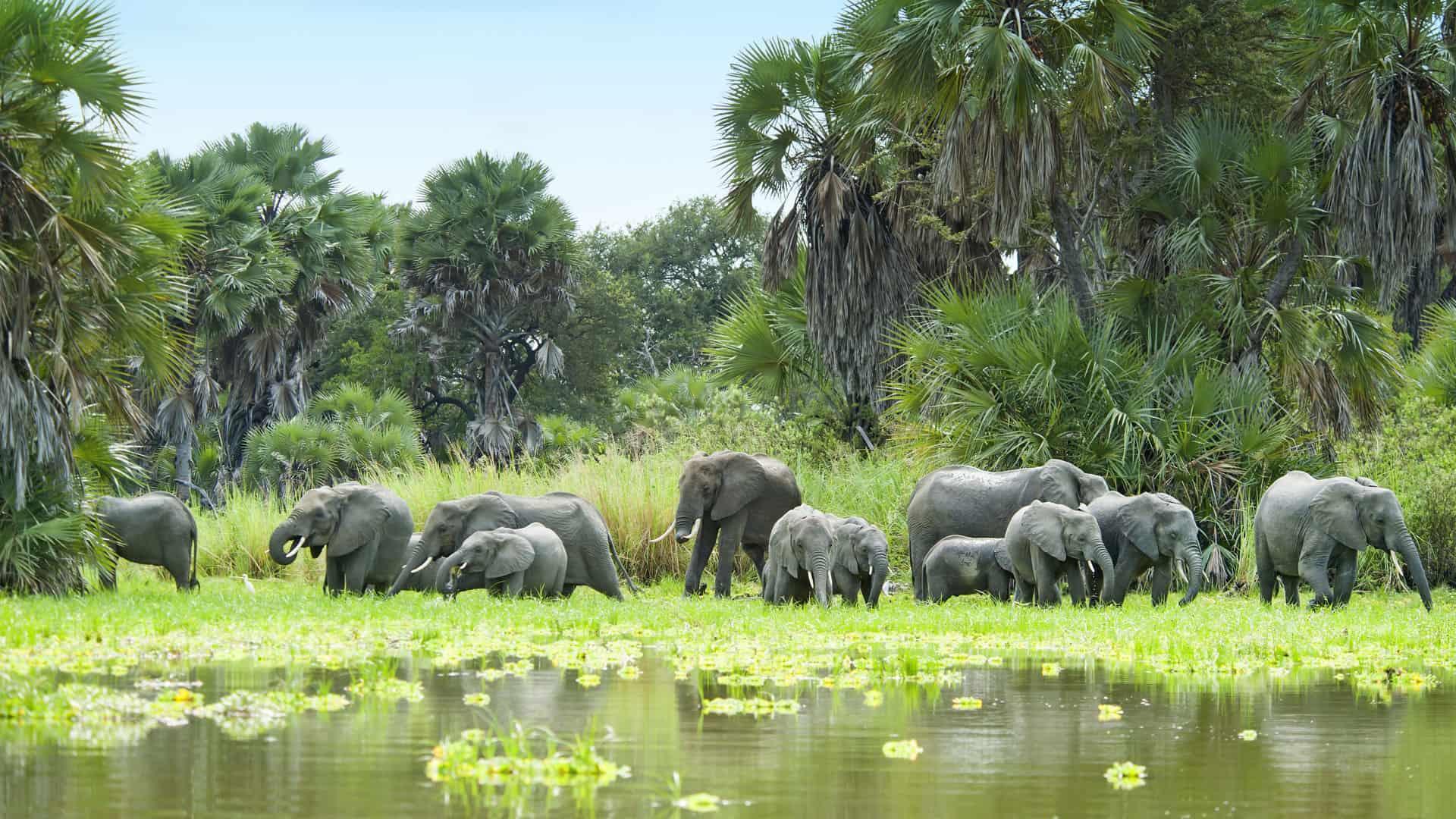herd of elephants and water selous
