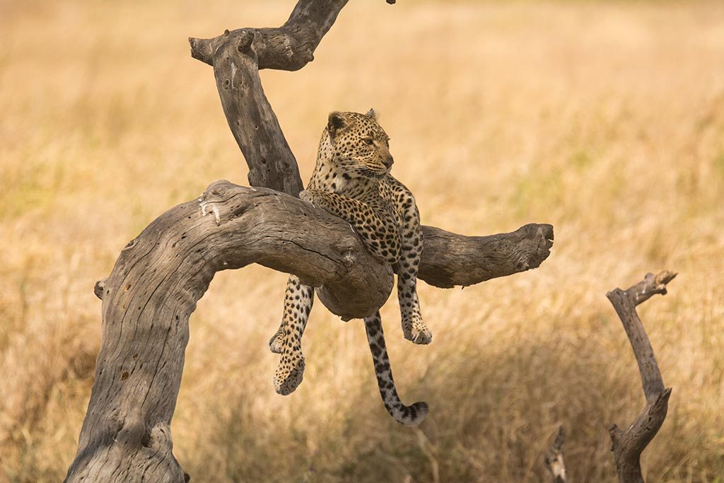 how-to-see-leopards-in-Tanzania