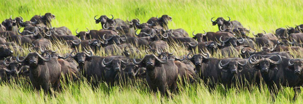 katavi buffalos