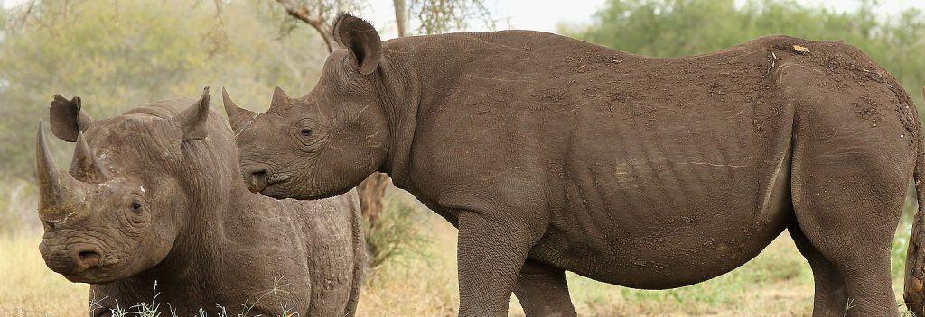 mkomazi rhinos