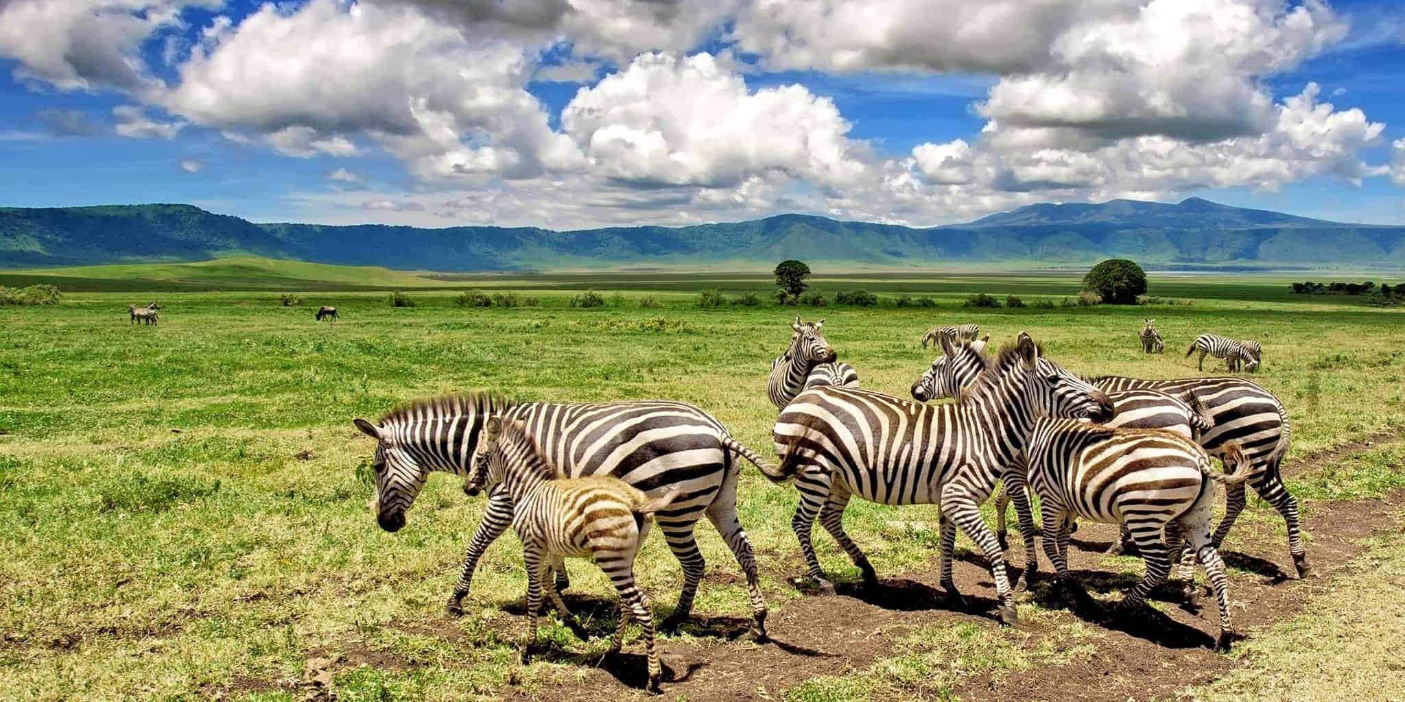 Zebra at Ngorongoro Crater