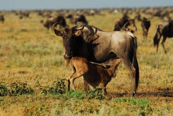 wild-beast-breast-feeding-e1560498447175