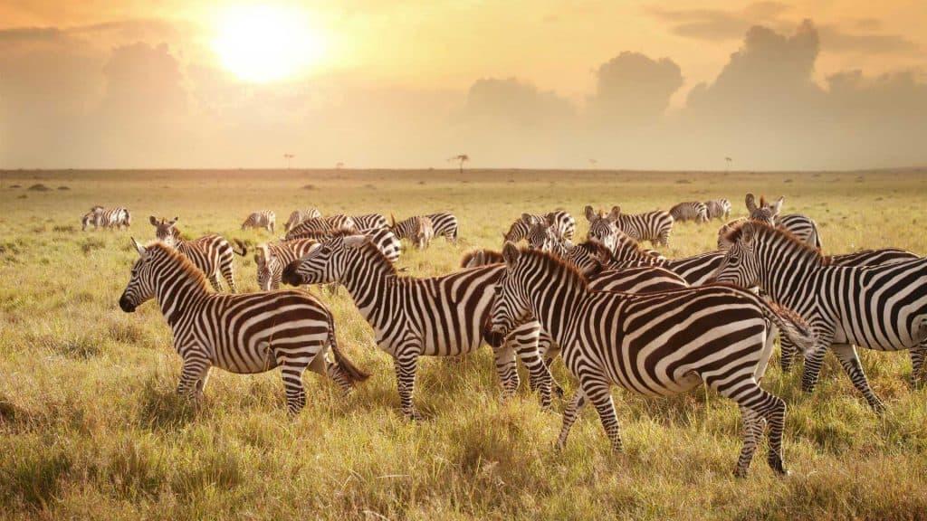 zebra in the serengeti in tanzania